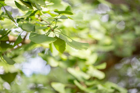 Ginkgo tree (Ginkgo biloba), also known as the ginkgo or gingko outside in the park