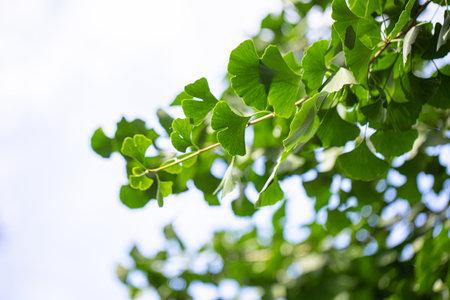 Ginkgo biloba green leaves on a tree. Ginkgo Biloba Tree Leaves on light sky. 스톡 콘텐츠