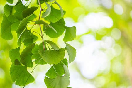 Close up of fresh vibrant green ginkgo biloba leaves. Natural foliage background. 스톡 콘텐츠