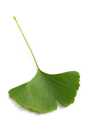 green leaves of Ginkgo biloba isolated on white background.medicinal extract 스톡 콘텐츠