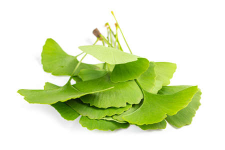 green leaves of Ginkgo biloba isolated on white background.