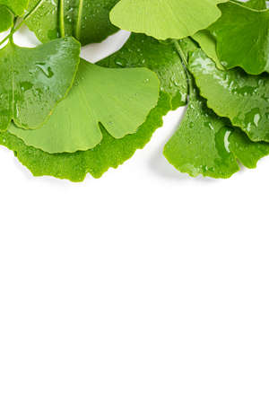 Frame from fresh leaves of Ginkgo biloba with water drops isolated on white background. 스톡 콘텐츠