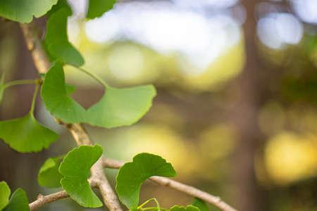 Close up of fresh vibrant green ginkgo biloba leaves.