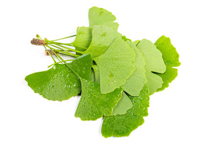 green leaves of Ginkgo biloba with water drops or dew isolated on white background. 스톡 콘텐츠
