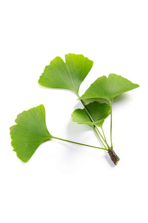 green leaves of Ginkgo biloba isolated on white background.medicinal extract Фото со стока
