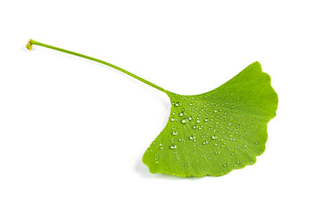 green leaves of Ginkgo biloba with water drops or dew isolated on white background. Фото со стока