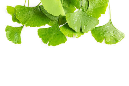 Frame from fresh leaves of Ginkgo biloba with water drops isolated on white background. Фото со стока