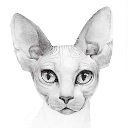 cat of breed the Sphinx portrait Stockfoto