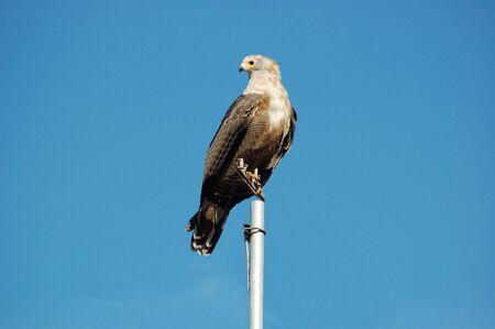 Gymnogene Hawk