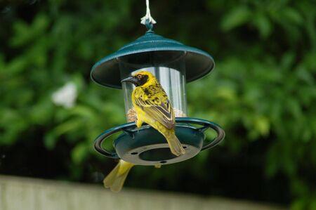 Weaver on bird feeder