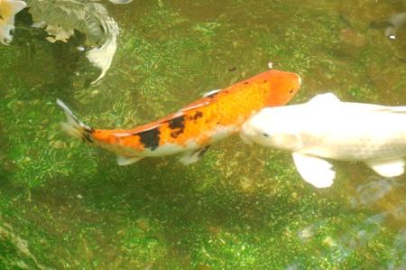 Koi Fish Stock Photo - 10121222