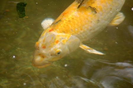 Koi Fish Stock Photo - 10121212