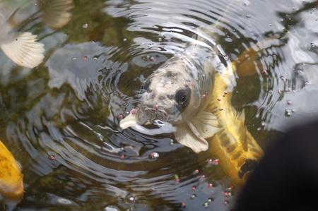 Koi Fish Stock Photo - 10121221