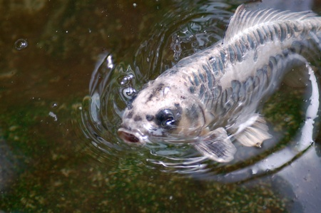 Koi Fish Stock Photo - 10121218