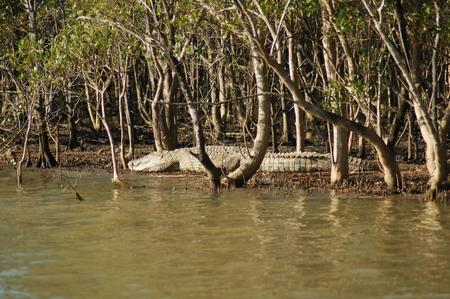 Crocodile lying on the riverbank