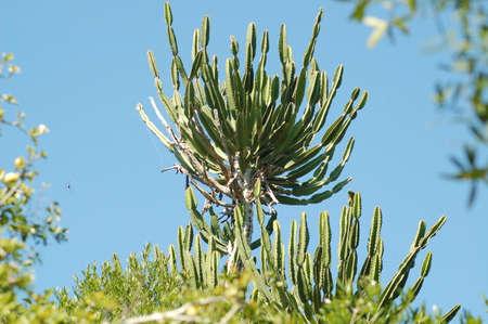 Euphorbia ingens Stock Photo