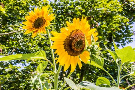Giganic Sunflowers in Taos, New Mexico Stock Photo