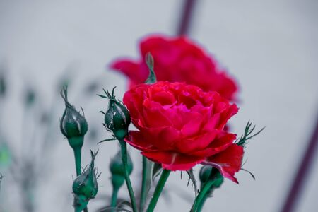 Two opened deep red roses and five buds