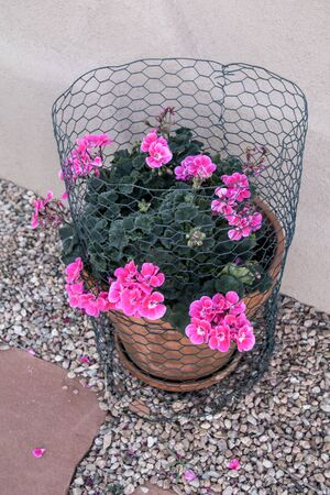 Fun Photo of Geraniums protected by chicken wire Фото со стока