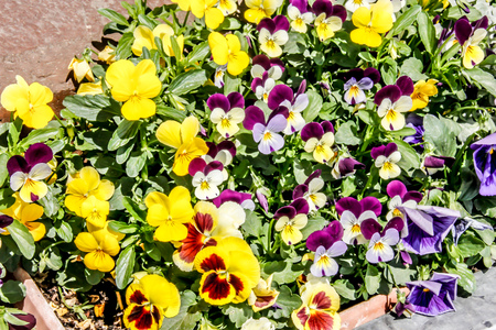 Outdoor Mall Colorful Pansies in New Mexico Фото со стока - 70731370
