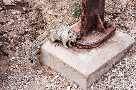 Thristy Squirrel at a rusty water pump