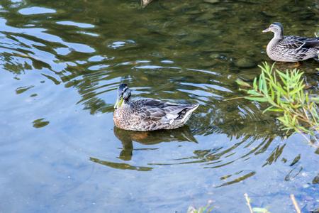 Two Dover Delaware Ducks