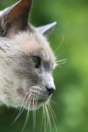 A vertical colour photograph of a cat's profile against a green background. Stock Photo - 6908569