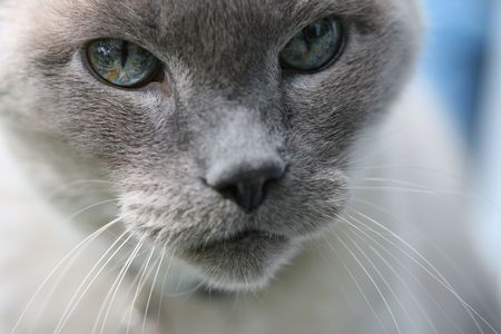 gray cat: Blue Eyed Cat Close Up