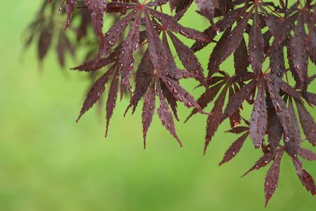 a stem here: A horizontal colour photograph of Japanese Maple leaves after a rainfall, against a green background.
