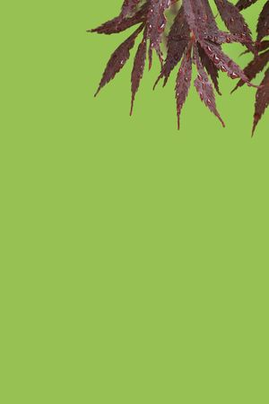A vertical colour photograph of Japanese Maple leaves after a rainfall, against a green background. Stock Photo