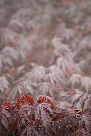 A vertical colour photograph of Japanese Maple leaves after a rainfall.
