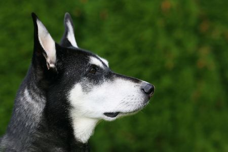 An alert black and white dog against a green background, in a horizontal colour photograph. photo