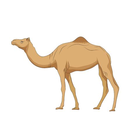 Hand drawn vector image of Camel on white background. Camel stand alone. Alphabet C learning picture.