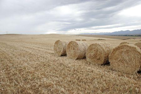 wheat harvest: Wheat Harvest Stock Photo