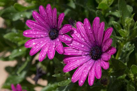 Two purple dimorphic (dimorphotheca) flowers wet from rain