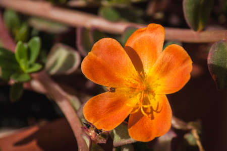 Orange purslane flower with open petals. It has long stamens and open gyneceous.