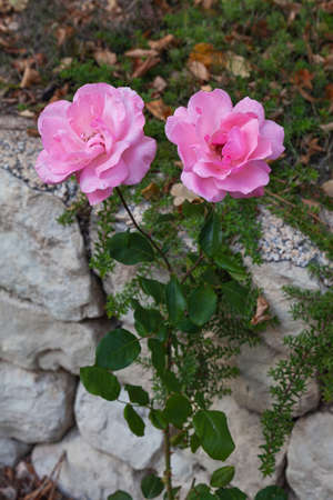 Two pink roses planted in front of a stone wall. The flowers are in focus and the rest are more out of focus. The stem has thorns. Foto de archivo