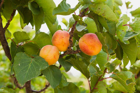 Three ripe apricots on your tree ready to be picked. The branches of the tree have green leaves. Foto de archivo
