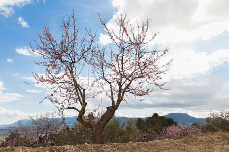 Flowered almond tree located in an orchard in the mountains. In the background you can see, somewhat out of focus, the cloudy sky and the distant mountains.