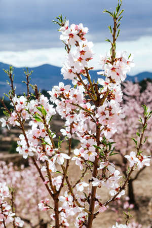 Flowers and buds on the branches of an almond tree located in an orchard in the mountains. The flowers are in focus and the background is out of focus. Foto de archivo
