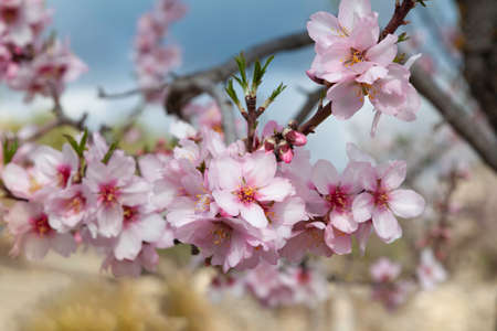 Flowers and buds on the branch of an almond tree located in an orchard in the mountains. The flowers are in focus and the background is out of focus.