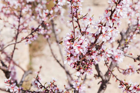 Flowering branches of an almond tree in an orchard in Spain, with white flowers, and a bee approaching them to collect pollen.
