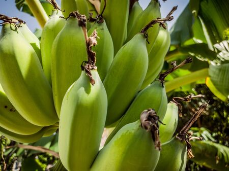 Close-up of tropical raw green bananas hanging on tree with leaf in garden orchard. Green bunch of banana tree. Fruit farm with sun light effect, agricultural industry concept. Natural background Stock fotó