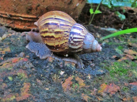 to creep: A snail creep on laterite
