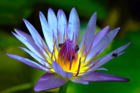 Bees absorb some fructose in pollen of  purple lotus (King of Siam)