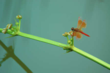 Red dragonfly hold on green aquatic plant Stock Photo