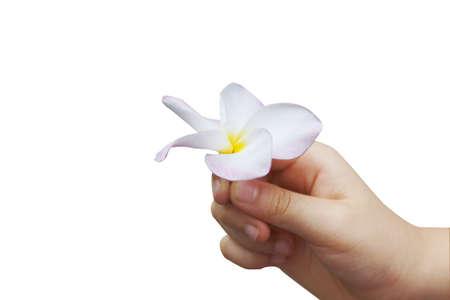 Isolate photo of hand pick a white plumeria flower