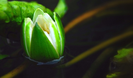 White lotus flower blossom on water surface
