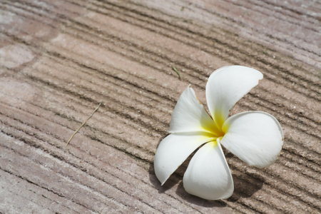 White plumeria falling down on cement floor,genus of flowering plants in the dogbane family,Apocynaceae.