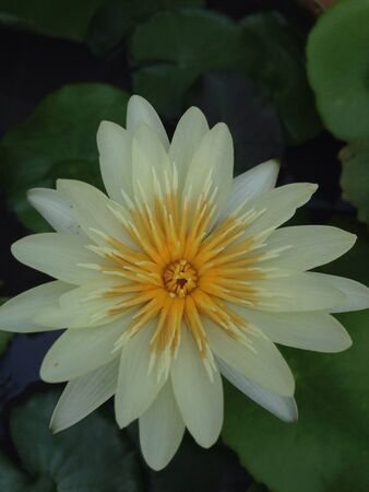 Closeup of blossom white water lily